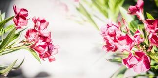 与可爱红色开花的花卉边界,夹竹桃开花 库存照片