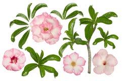 与叶子和分支的桃红色adenium在白色背景 免版税库存照片