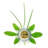 与叶子和叶子的开花的新鲜的西番莲花是i 库存照片