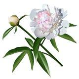 与叶子和芽的白色现实芍药属花 免版税库存图片