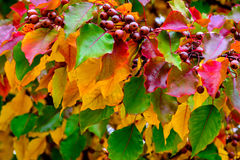与叶子和莓果的一棵五颜六色的秋天树 库存图片