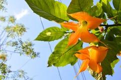 与叶子和蓝天的橙色花 免版税库存照片