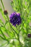 与叶子和词根的紫色矢车菊 免版税库存照片