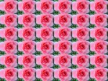 与叶子和lepeskami的桃红色玫瑰 免版税库存图片