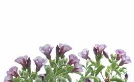 与叶子框架的紫罗兰色花 库存照片