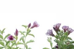 与叶子框架的紫罗兰色花 免版税图库摄影