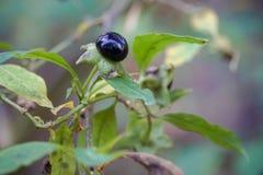 与叶子植物光叶山黄麻的绿色棕色黑莓果 图库摄影