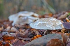 与叶子植物结冰的棕色黑蘑菇在顶面岩石叶子冬天秋天autume 库存照片