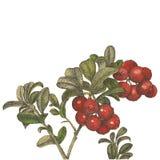 与叶子点画法的水彩蔓越桔 免版税库存图片