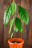 与叶子的一个鲕梨新芽在有地球的一个罐 一棵年轻鳄梨树 木棕色墙壁和桌 免版税库存图片