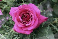 与叶子的一朵开花的桃红色玫瑰 免版税库存照片