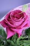 与叶子的一朵开花的桃红色玫瑰 库存图片