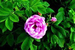 与叶子的一朵桃红色花 图库摄影