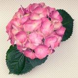 与叶子的一朵浅粉红色的八仙花属花圆点表面上 免版税库存图片