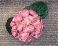 与叶子的一朵浅粉红色的八仙花属花词表面上 图库摄影