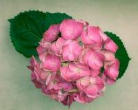 与叶子的一朵浅粉红色的八仙花属花 免版税库存照片