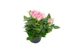 与叶子的三朵小的玫瑰在白色背景隔绝的黑花盆 库存图片