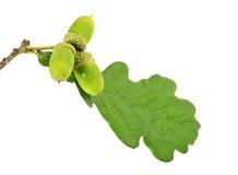 与叶子的三绿色橡子 库存图片