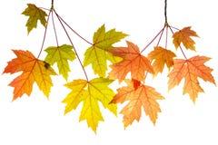 与叶子的停止的槭树分行 库存图片