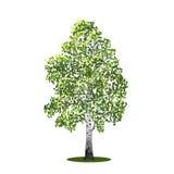 与叶子的分隔的树桦树,传染媒介illustrati 免版税库存图片