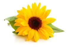 与叶子的向日葵 免版税图库摄影