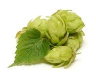 与叶子的啤酒花球果树 免版税库存图片