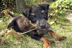 与叶子的小狗在嘴 库存图片