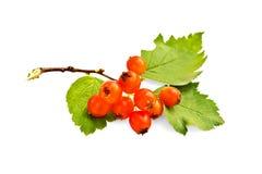 与叶子的山楂树桔子 免版税库存照片