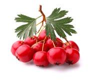 与叶子的山楂树莓果 库存图片