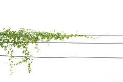 与叶子的常春藤绿色在孤立 免版税库存图片