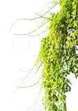 与叶子的常春藤绿色在孤立 图库摄影