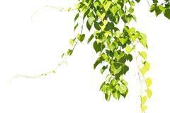 与叶子的常春藤绿色在孤立 免版税库存照片