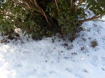 与叶子的常青灌木在雪 免版税库存照片