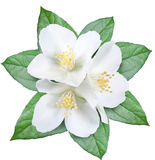 与叶子的开花的茉莉花花 免版税图库摄影