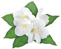 与叶子的开花的茉莉花花 免版税库存照片