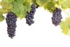 与叶子的成熟黑暗的葡萄 免版税库存图片