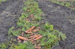 与叶子的新近地被开掘的红萝卜行在地面 库存照片