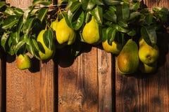 与叶子的新鲜的梨在分支 免版税图库摄影