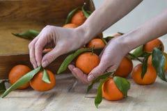 与叶子的新鲜的橘子果子或蜜桔在木背景 停滞成熟普通话,关闭的女性手 库存照片