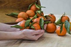 与叶子的新鲜的橘子果子或蜜桔在木背景 停滞成熟普通话,关闭的女性手 免版税库存照片