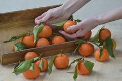与叶子的新鲜的橘子果子或蜜桔在木背景 停滞成熟普通话,关闭的女性手 库存图片