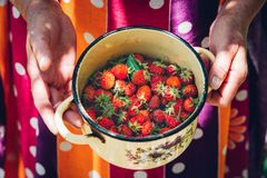 与叶子的新鲜的水多的草莓 妇女在她的手土气老上釉的罐举行用草莓 免版税库存图片