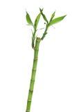 与叶子的新鲜的竹词根 库存图片
