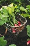 与叶子的新鲜的红色萝卜在篮子 免版税库存照片