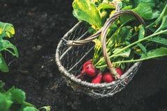 与叶子的新鲜的红色萝卜在篮子 库存图片