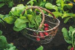 与叶子的新鲜的红色萝卜在篮子 图库摄影
