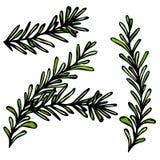 与叶子的新鲜的罗斯玛丽小树枝 食物和香料传染媒介例证 免版税库存照片