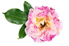 与叶子的桃红色和白玫瑰花 顶视图,被隔绝 库存图片