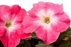 与叶子的桃红色喇叭花在一个白色背景特写镜头 库存照片