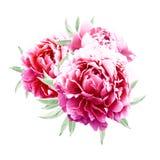 与叶子的桃红色牡丹 图库摄影